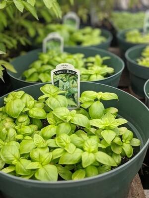 Sweet Basil Bowl, Large (6 plants)