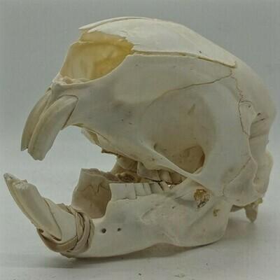 African Porcupine Skull