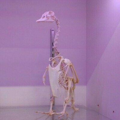 Bird Skeleton - Domestic Goose