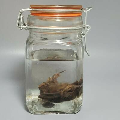Brown Bat In Orange Jar Wet Preserve   Specimen