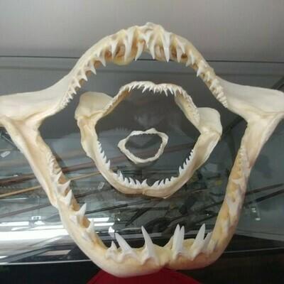 14 Inch Mako Shark Jaw