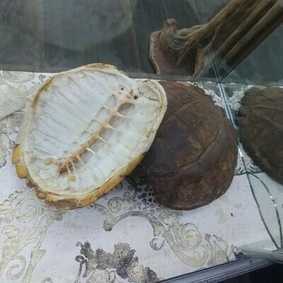 Large Turtle Shells