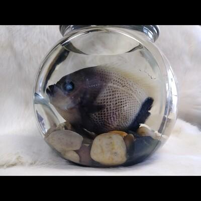 Damselfish With River Rock In Round Jar