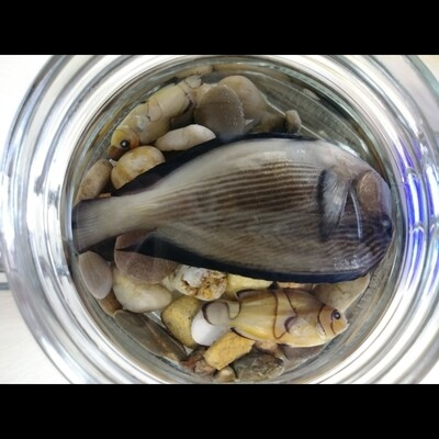 Tang & 2 Clown Fish In River Rock w/ Blue Lid Jar