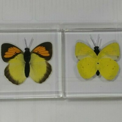 Yellow Butterfly in Acrylic