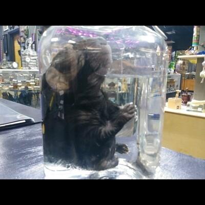 Juvenile Porcupine In Jar
