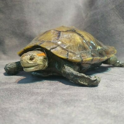 Red Eared Slider Turtle Taxidermy