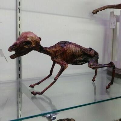 Mummified Fetal Sheep