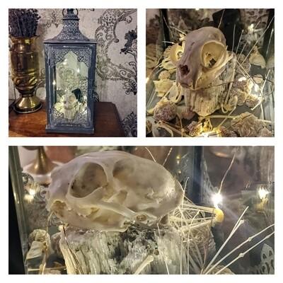 Cat Skull, Bat Bones, And Desert Rose Lantern
