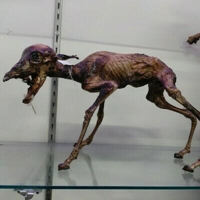 Mummified Bovine