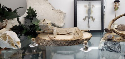 Mummified Bearded Dragon