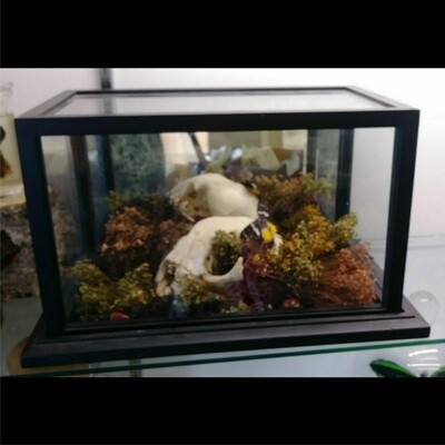 Bobcat Skull With Butterfly In Terrarium