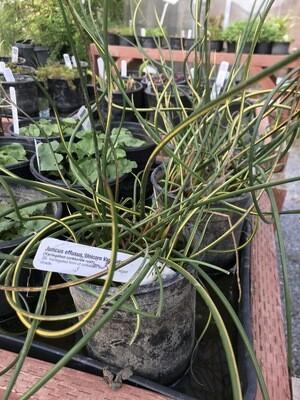 1 Gal Juncus effusus, variegated