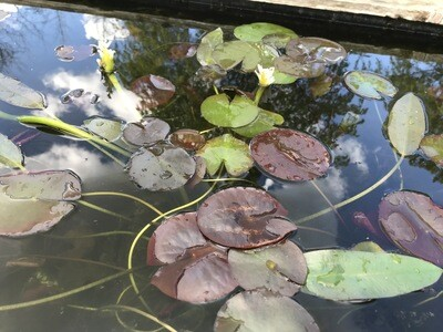 Hardy Water Lily: Attraction