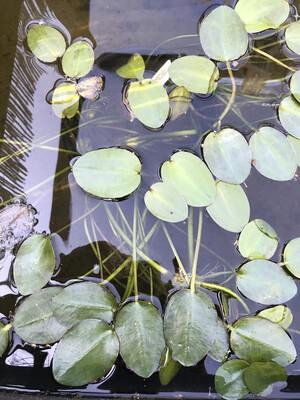 1 Gal Water Poppy
