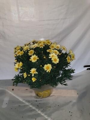 Margriet geel