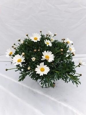 Margriet wit