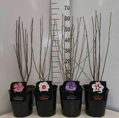 Hibiscus in cultivars