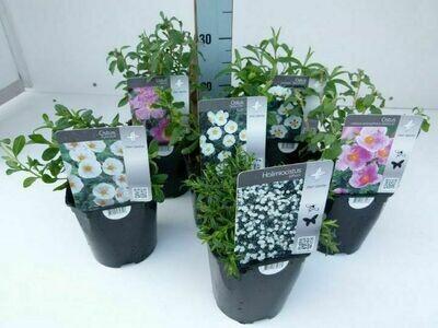 Cistus in cultivars