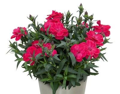 Nelken (Dianthus) - gefüllt blühend