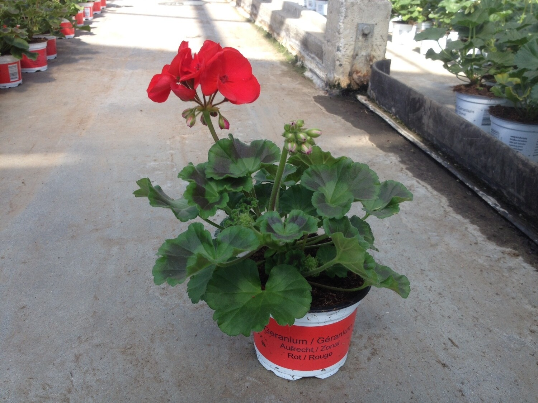 Jung-Geranien Steher/Aufrecht (Pelargonium Zonale)