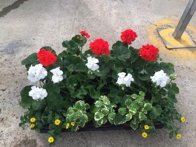 Geranium-MIX Kiste Stehend (Pelargonium Zonale)