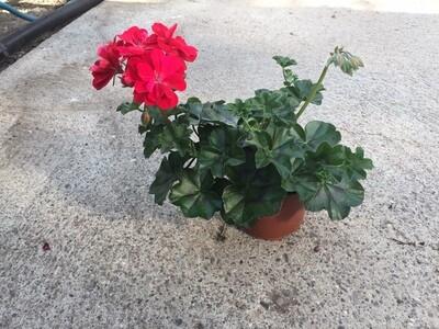 Gärtner-Geranien Gross halbhängend gefüllt blühend (Pelargonium Peltatum)