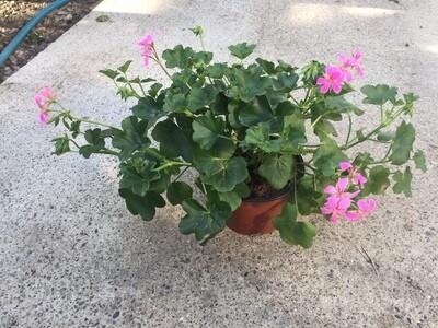 Gärtner-Geranien Gross Hängend einfach blühend (Pelargonium Cascade)
