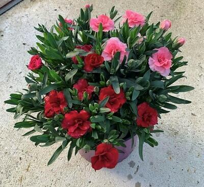 Nelken Tricolor XL  (Dianthus)