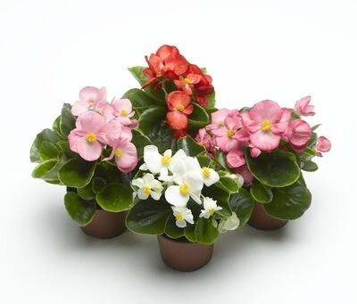 Begonien (Begonia semperflorens)