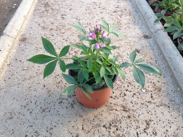 Spinnenblume (Cleome) 12cm