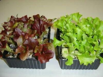 Gemüse-Setzlinge