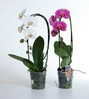 Spezial! Orchidee Phalaenopsis Cascade