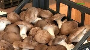 Funghi Cardoncelli-1 kg