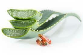 Aloe arborescens + foglie di ulivo