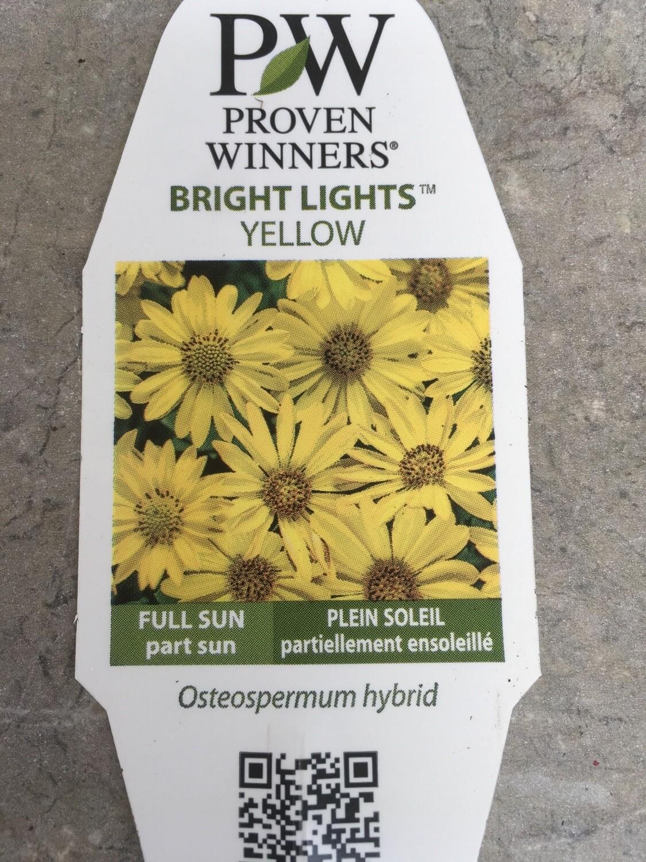 Bright Lights Yellow Osteospermum