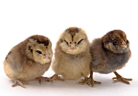 Easter Egger Female Chicks.  4/15/20 hatch date.