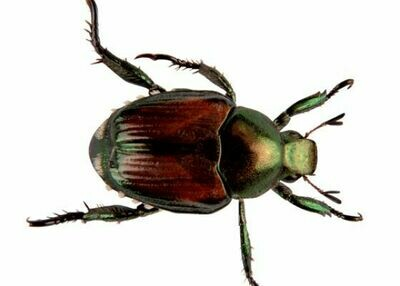 F. Japanese Beetle Attack-Get Protected Now   $325