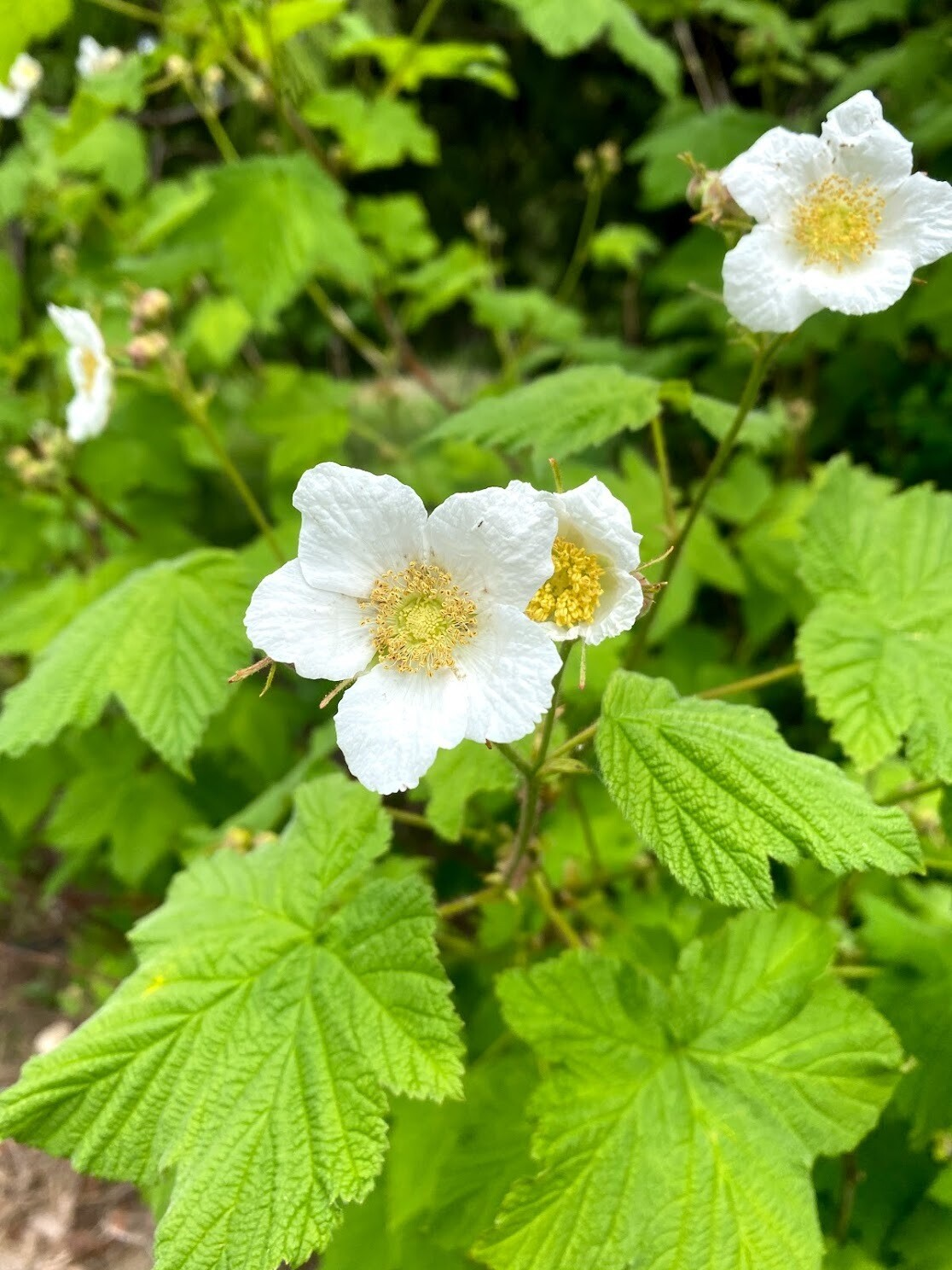 Rubus parviflorus - Thimbleberry