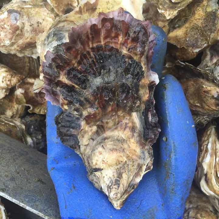 No. 2 Size - Choice Oysters (Large)