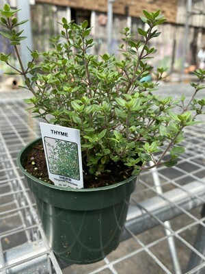 Herb | Thyme, English | Pint