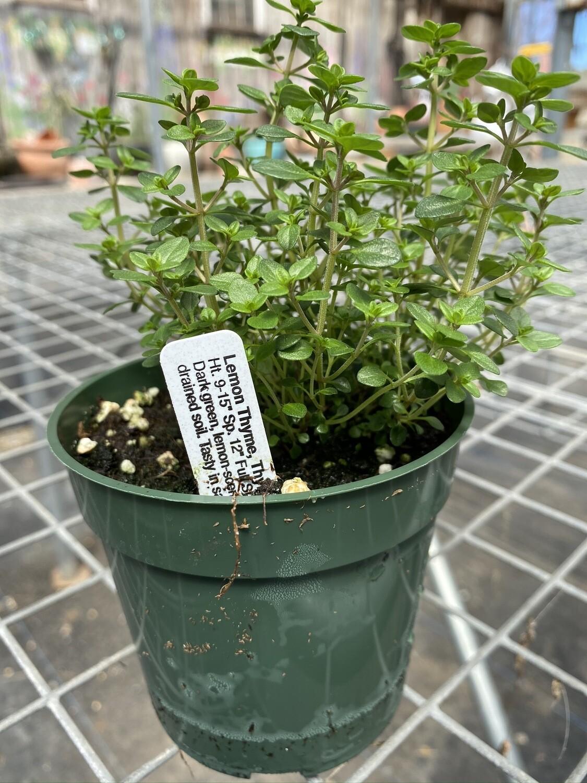 Herb | Thyme, Lemon | Pint