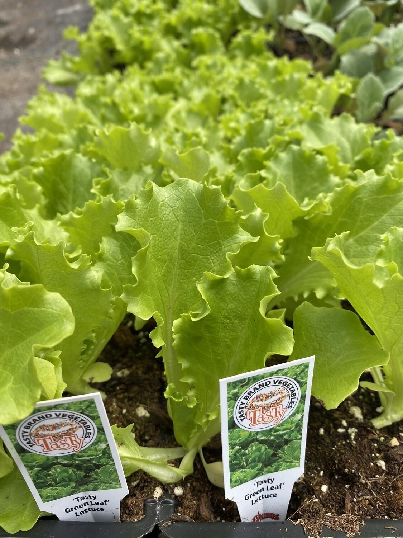 Vegetable Starter   Green Leaf Lettuce   6 Pack