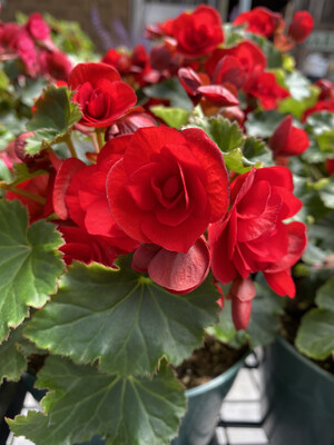 Annual | Begonia 'Vermillion Red' | 6
