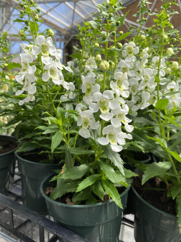 Annual   Angelonia 'White'   4.5