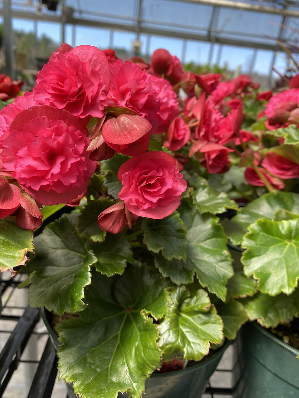 Annual | Begonia 'Vermillion Hot Pink' | 6