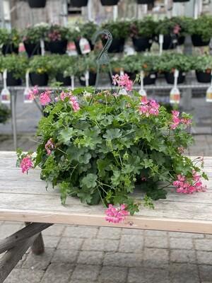 Hanging Basket | Pink Ivy Geranium | 12