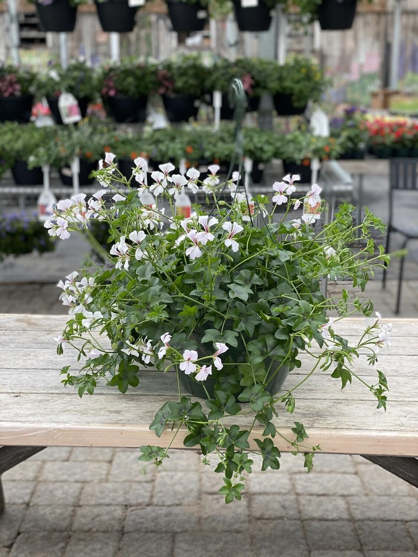 Hanging Basket | White Ivy Geranium | 12