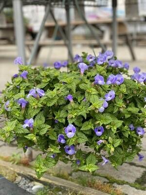 Hanging Basket | Torenia 'Summer Wave Large Blue' | 10