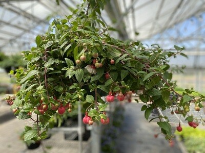 Hanging Basket | Fuchsia 'Swingtime' | 12